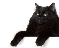 белизна черного кота предпосылки Стоковые Изображения