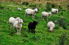 белизна черных овец Стоковое Фото