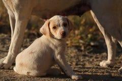 белизна щенка Стоковое Фото