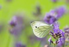 белизна 2 бабочек Стоковые Изображения