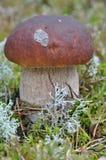 белизна 2 грибов Стоковое Изображение
