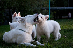 белизна 7 овец собаки швейцарская Стоковые Фото