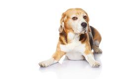 белизна beagle предпосылки изолированная собакой Стоковая Фотография RF
