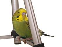 белизна budgerigar предпосылки Стоковое Изображение RF