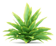 белизна bush изолированная funkia стоковое изображение