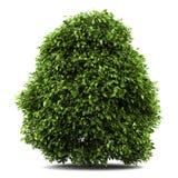 белизна bush общим изолированная падубом иллюстрация штока