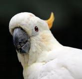 белизна cockatoo Стоковые Изображения