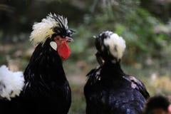 Белизна crested черный польский петушок петуха стоковая фотография