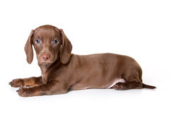 белизна dachshund предпосылки Стоковое Фото