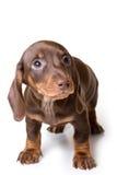 белизна dachshund предпосылки Стоковые Изображения