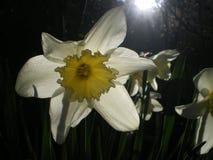 белизна daffodil стоковое фото rf