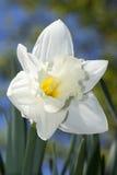 белизна daffodil Стоковая Фотография RF