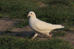 белизна dove Стоковые Изображения RF