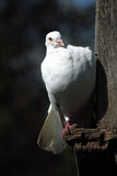белизна dove стоковые фотографии rf