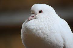 белизна dove Стоковые Изображения