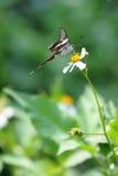 белизна dragontail бабочки редкая Стоковое Изображение RF