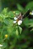 белизна dragontail бабочки редкая Стоковое Изображение