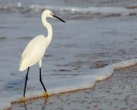 белизна egret большая Стоковое Изображение RF