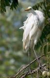 белизна egret большая стоковые изображения