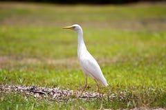 белизна egret скотин Стоковые Изображения