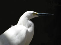 белизна egret Стоковые Изображения