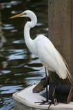 белизна egret Стоковое Изображение RF