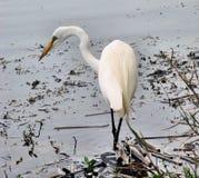 белизна egret Стоковое фото RF