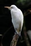 белизна egret Стоковое Изображение