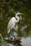 белизна egret стоковые фото