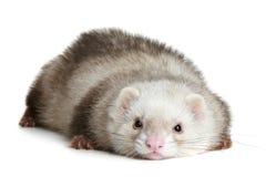 белизна ferret предпосылки смешная Стоковое Фото