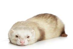 белизна ferret предпосылки Стоковая Фотография RF