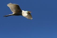 белизна florida egret Стоковое Изображение RF