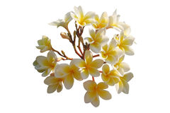 белизна frangipani предпосылки Стоковая Фотография RF