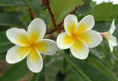 белизна frangipani Стоковое Фото