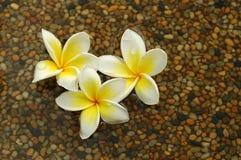 белизна frangipani Стоковые Фото