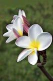 белизна frangipani Стоковое фото RF