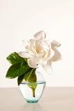 белизна gardenia цветения Стоковое Изображение RF