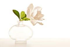 белизна gardenia цветения Стоковые Изображения RF
