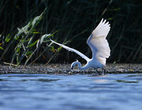белизна garzeta рыболовства egreta egret Стоковое Изображение RF