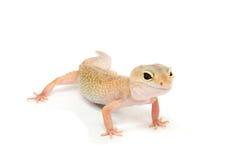 белизна gecko предпосылки передняя Стоковые Фотографии RF