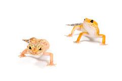 белизна gecko предпосылки передняя Стоковая Фотография RF