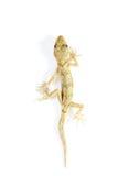 белизна gecko проползать Стоковое фото RF