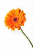 белизна gerbera цветка маргаритки померанцовая Стоковая Фотография RF