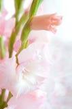 белизна gladiolus розовая Стоковые Изображения RF
