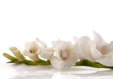 белизна gladiolus стоковые изображения