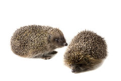 белизна hedgehogs 2 предпосылки Стоковое фото RF