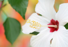 белизна hibiscus стоковое изображение