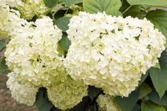 белизна hortensia Стоковые Изображения RF