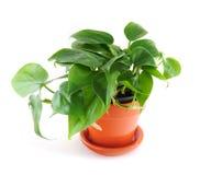 белизна houseplant предпосылки Стоковые Изображения RF