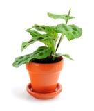 белизна houseplant предпосылки Стоковое фото RF